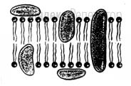 Какая структура клетки изображена на рисунке?