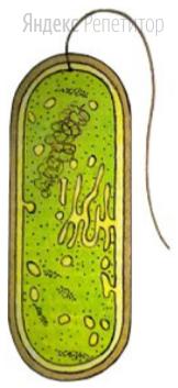 Укажите характерные особенности организма, изображенного на рисунке.