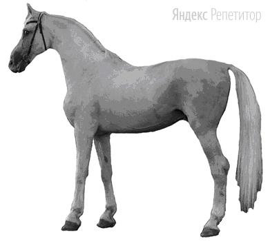 Рассмотрите фотографию лошади породы орловская рысистая. Выберите характеристики, соответствующие его (её) внешнему строению, по следующему плану: постановка головы, форма головы, форма спины, расположение запястья передней конечности, постановка задних конечностей. При выполнении работы используйте линейку.