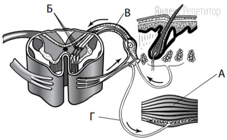 Какой буквой обозначен на рисунке двигательный нейрон?