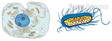 Рассмотрите рисунки с изображением разных типов клеток и определите, какой органоид является общим для них, как называется тип клетки, изображённой на правом рисунке ... а также название органоида, выполняющего роль «энергетической станции» клетки на левом рисунке ...