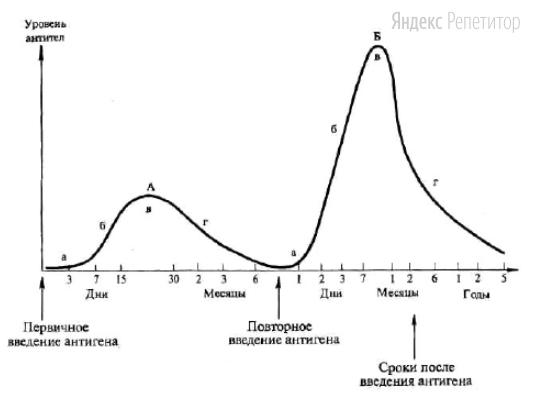 Проанализируйте график «Динамика образования антител при первичном (А) и вторичном (Б) введении антигена».