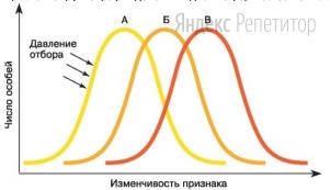 Проанализируйте график действия одной из форм естественного отбора.
