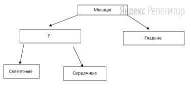 Рассмотрите предложенную схему классификации мышц.