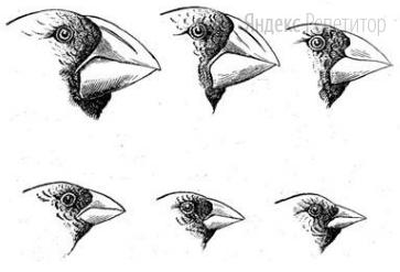 Показанное на рисунке разнообразие формы клюва у дарвиновых вьюрков – это пример