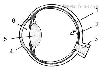 Выберите три верно обозначенные подписи к рисунку «Строение глаза человека».