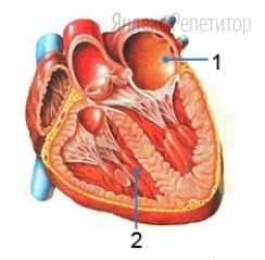 Рассмотрите рисунок с изображением органа системы кровообращения человека, определите название камер под цифрой 1 и 2, а также откуда собирается кровь в эти камеры и куда движется из них.