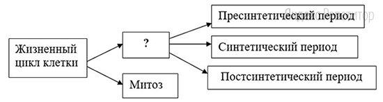 Рассмотрите предложенную схему классификации периодов жизненного цикла соматической клетки.