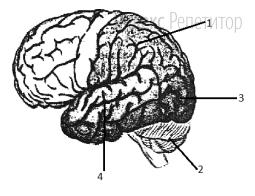 Какой цифрой обозначена зона, в которой возникают зрительные образы у человека?
