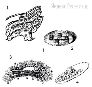 Какая из изображенных клеточных структур обеспечивает секрецию веществ клеткой?