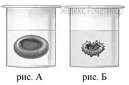 Сравните изображение нормального эритроцита в плазме (рис. А) и эритроцита в растворе (рис. Б).