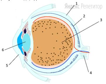 Структуры, относящиеся к оптическому аппарату глаза, представлены на рисунке под цифрами