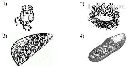 На каком рисунке изображена митохондрия?