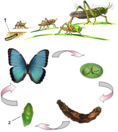 Рассмотрите схемы развития саранчи и бабочки. Проанализируйте сравнительную таблицу их особенностей.