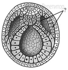 Назовите зародышевый листок позвоночного животного, обозначенный на рисунке вопросительным знаком.