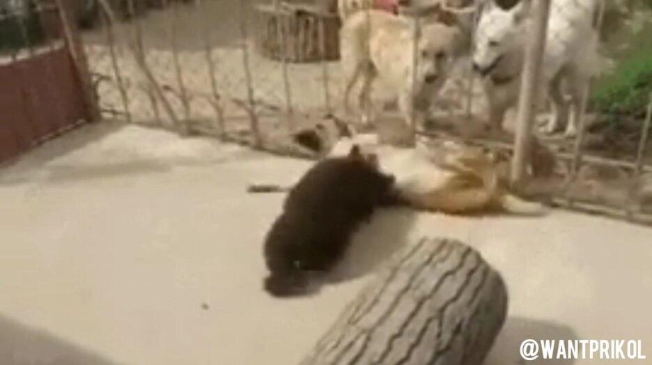 Борьба медвежонка с собакой. Видео прикол