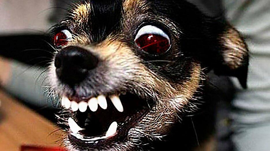 картинки маленьких злых собак перечне неисправностей условий