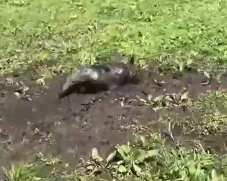 Любит в грязи поковыряться. Видео прикол