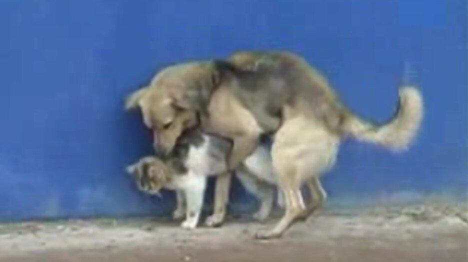 Собака пристроилась к кошке. Видео прикол