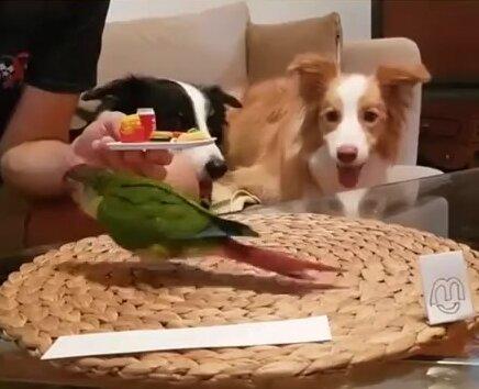 Попугай официант. Видео прикол