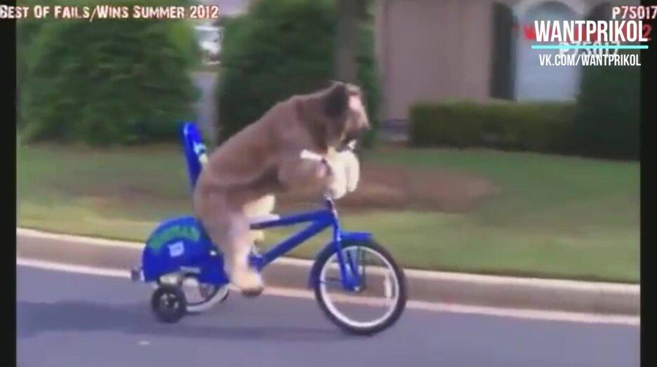 Собака катается на велосипеде. Видео прикол