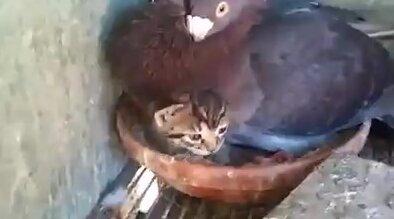 Птичка защищает котенка. Видео прикол