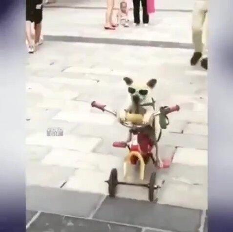 Крутой пес на велосипеде. Видео прикол