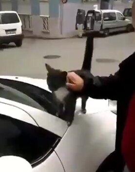 Ласкучий кот. Видео прикол