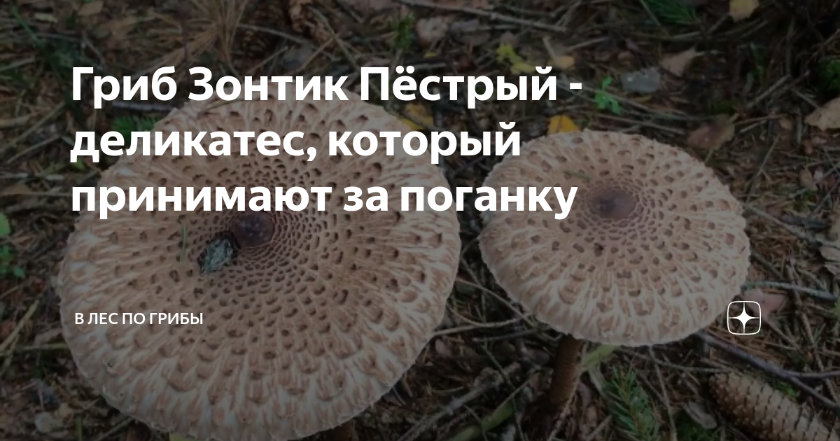 For experienced mushroom pickers, the mushroom is considered a delicacy. A mushroom picker with experience, when he finds a clearing of variegated umb