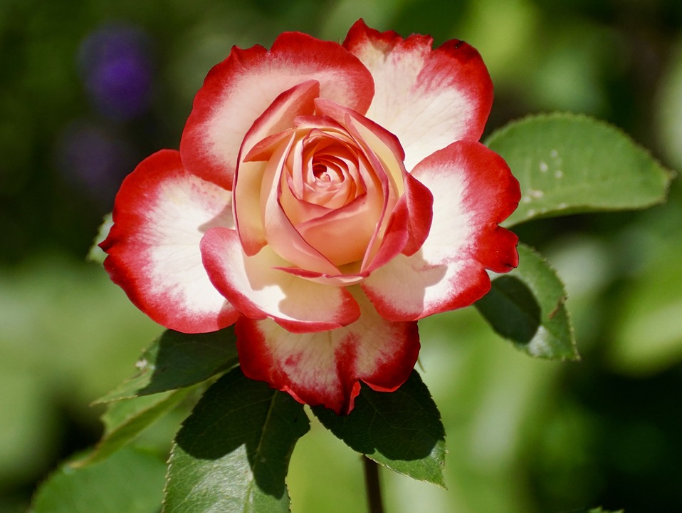 https://pixabay.com/photos/rose-blossom-bloom-flower-nature-2417334/