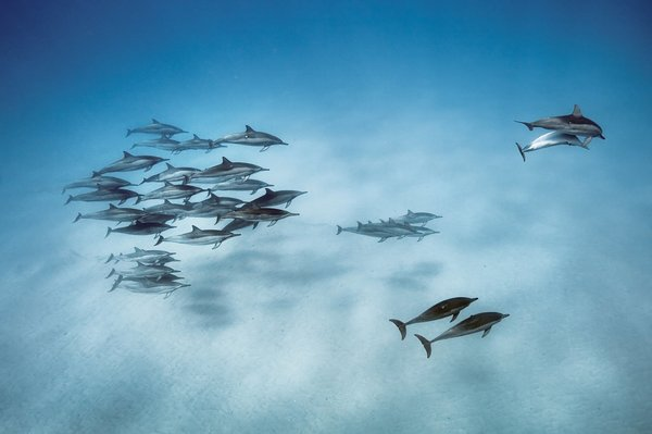 Spinner dolphins, Oahu, Hawaii, 2013.Фотография: Брайан Скерри / National Geographic