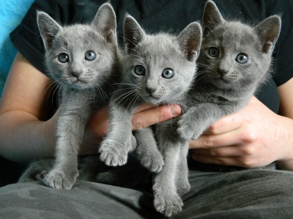 russian blue cat for sale - HD 1024×768