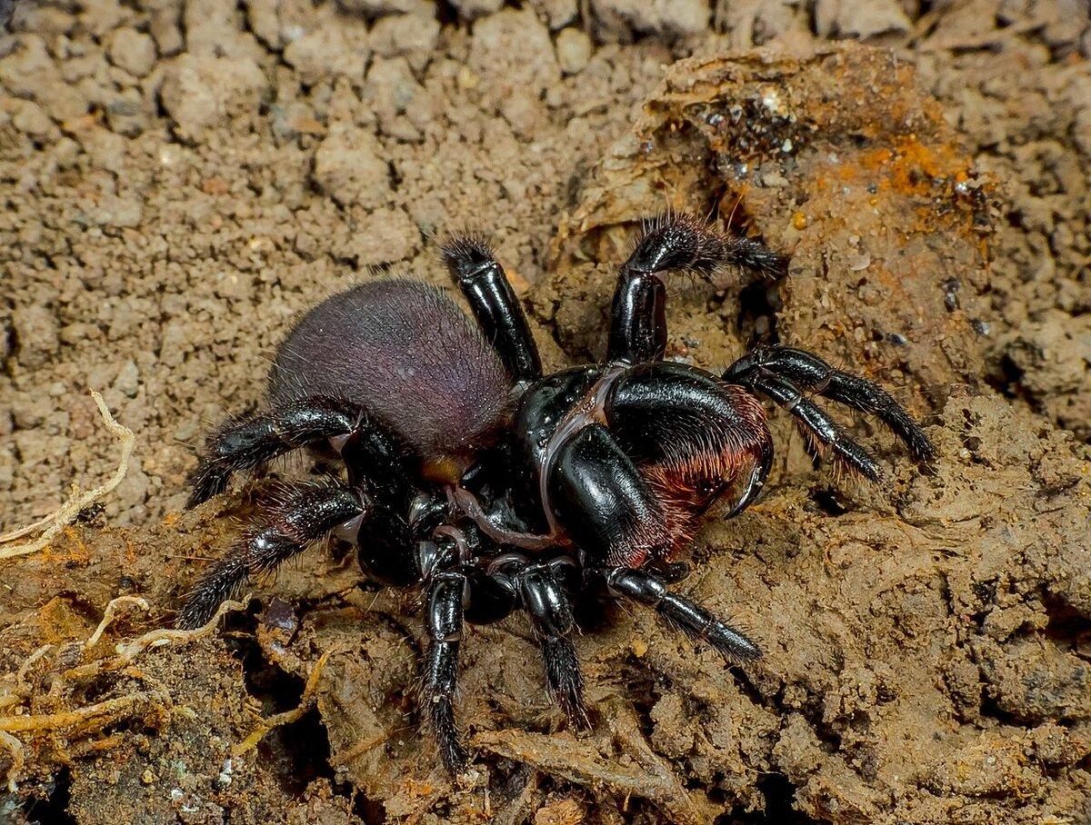 Creative Commons https://en.wikipedia.org/wiki/Spiders_of_Australia
