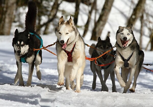 Фото: https://cdn.pixabay.com/photo/2014/02/24/08/28/huskies-273409_960_720.jpg