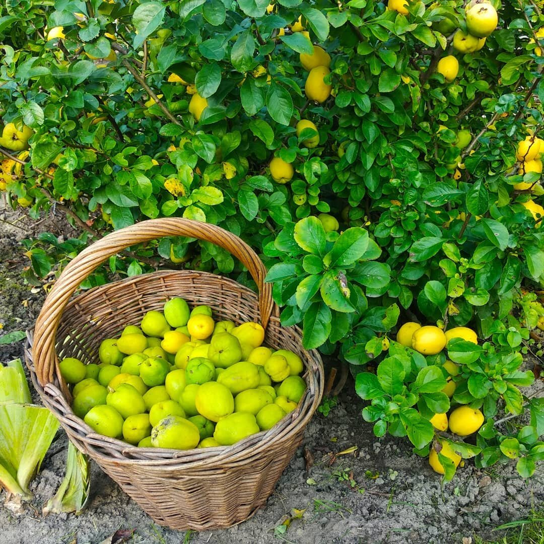 https://www.healthyfoodhouse.com/wp-content/uploads/2013/12/quince-real-natural-remedy-featured.jpg