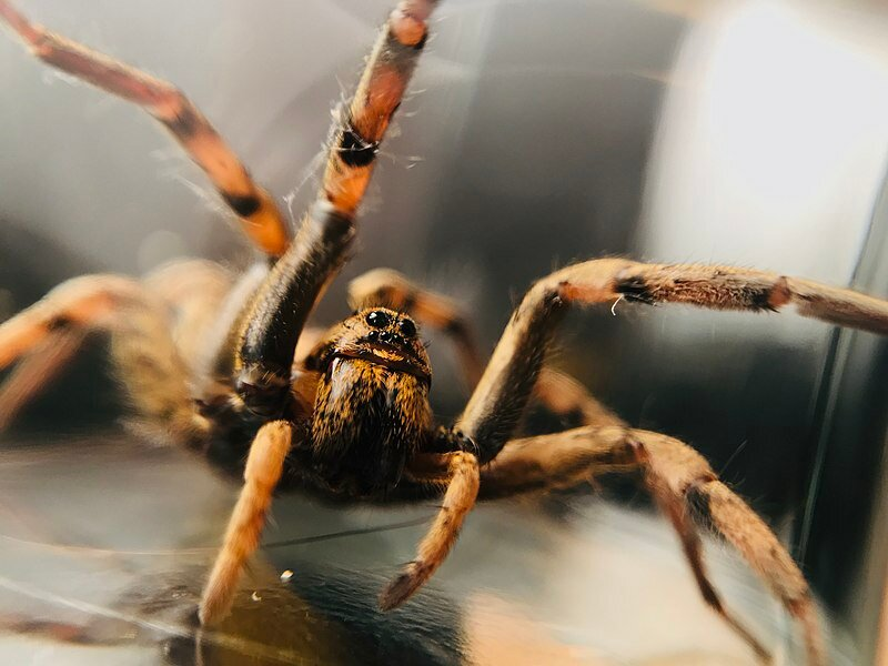 Creative Commons https://commons.wikimedia.org/wiki/File:Wolf_Spider_rpp.jpg