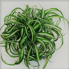 This plant with a spectacular hairstyle is present in almost every collection. In addition to its attractive appearance, it has the ability to purify the air! Chlorophytum is one of the most useful inhabitants of the windowsill. No wonder it is called a green filter! This is my favorite among home plants!