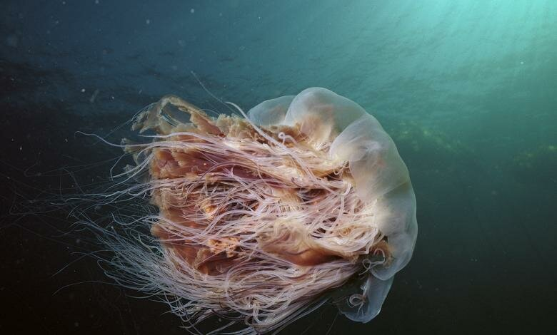 https://theawesomedaily.com/wp-content/uploads/2016/11/lions-mane-jellyfish-2.jpg