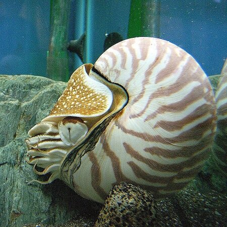 Nautilus. CC BY-SA 2.5, https://commons.wikimedia.org/w/index.php?curid=530507