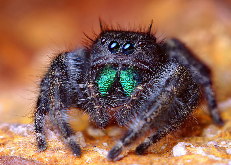 Creative Commons https://fr.wikipedia.org/wiki/Fichier:Adult_Female_Phidippus_audax_Jumping_Spider.jpg