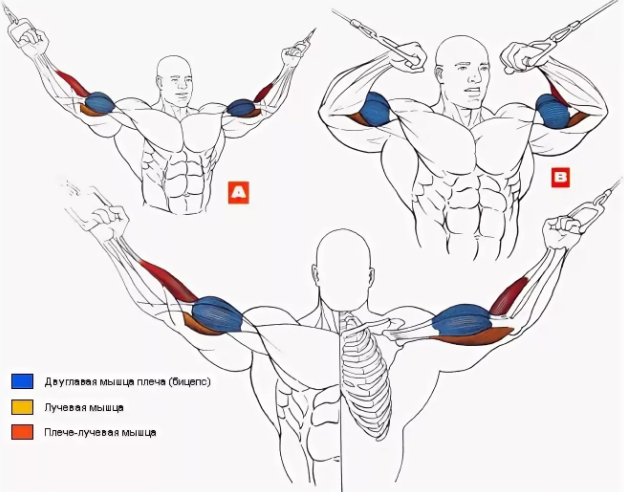 http://www.buildbody.org.ua/wp-content/uploads/2014/05/biceps-7-120409.jpg