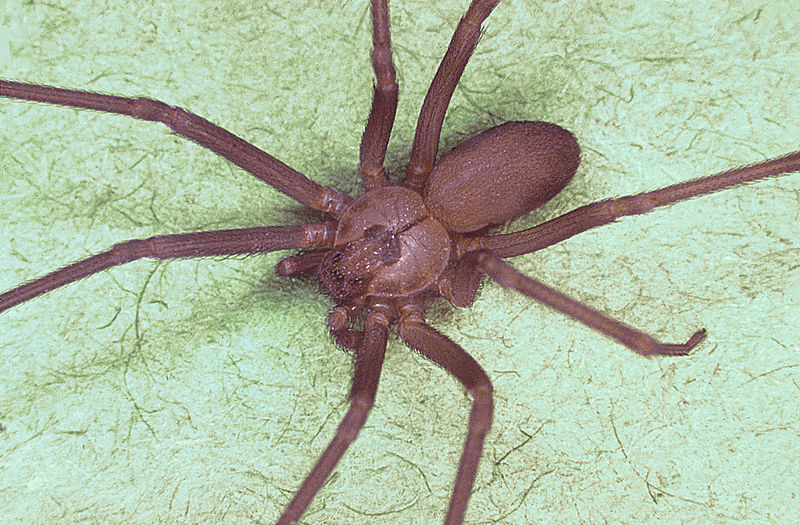 Creative Commons https://es.wikipedia.org/wiki/Archivo:Brown_recluse_spider,_Loxosceles_reclusa.jpg