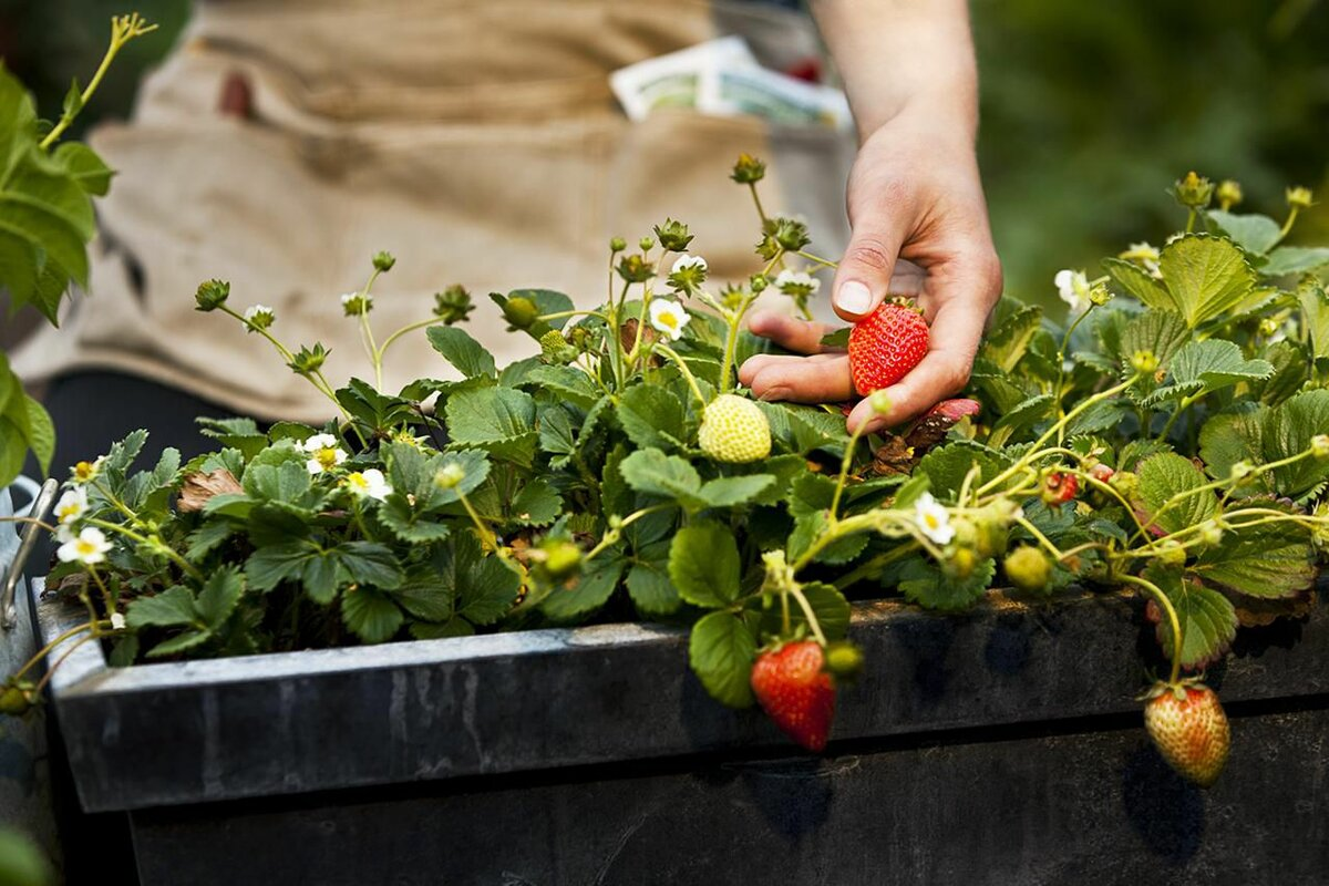 https://www.thespruce.com/growing-strawberries-in-a-pot-2539584