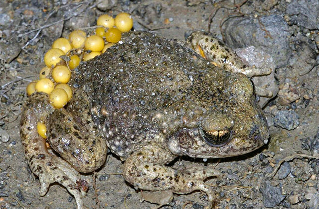Фото: © Pouched frog