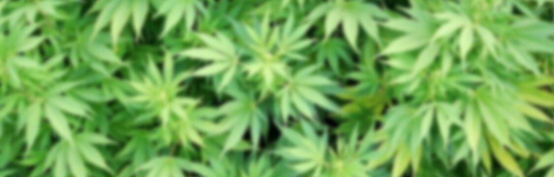 Сошли с ума от марихуаны когда урожай конопли