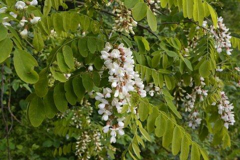 1200-542964228-white-blossom-of-acacia-tree.jpg
