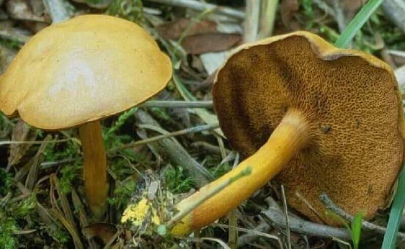 недавно осиашвили ядовитые губчатые грибы фото магазине широкий