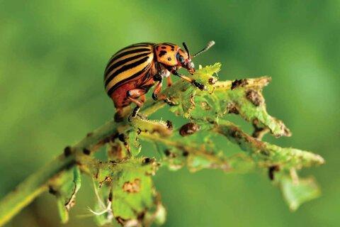 колорадский жук.jpg