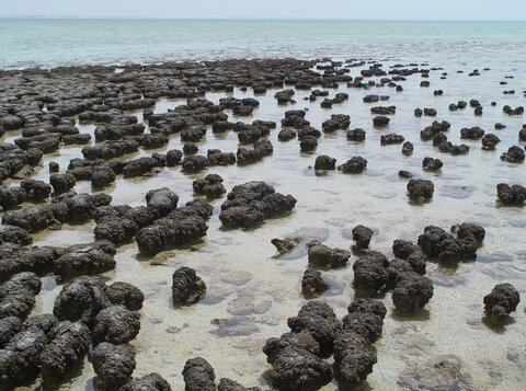 Stromatolites_in_Sharkbay.jpg