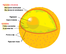 https://upload.wikimedia.org/wikipedia/commons/thumb/7/7c/Diagram_human_cell_nucleus_ru.svg/280px-Diagram_human_cell_nucleus_ru.svg.png